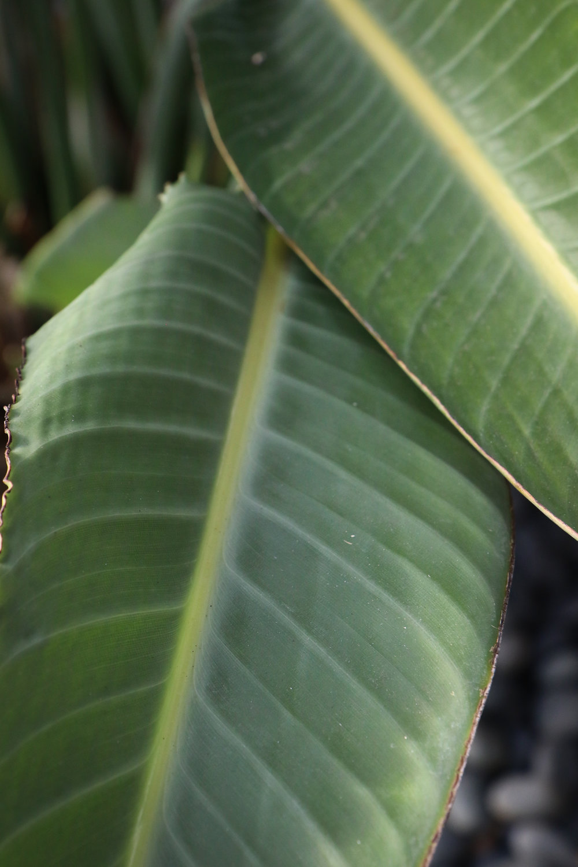 Indian Rubberplant  - Holli Z Photography - 1.jpg