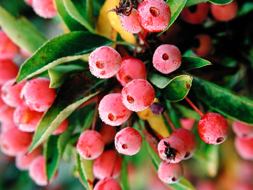 Malus 'Adirondack' Photo:  Great Plant Picks