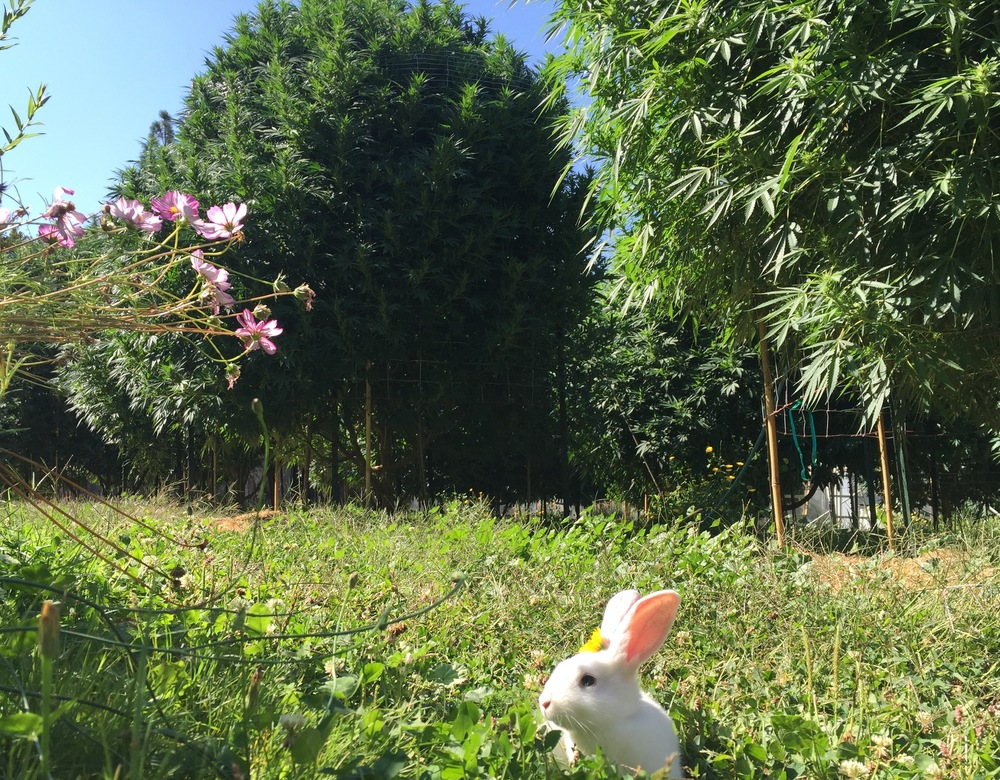 Bunnies love sungrown cannabis gardens.