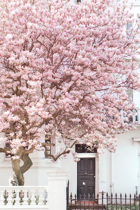 Magnolia tree in Notting Hill. Fine art print available from  Georgianna Lane