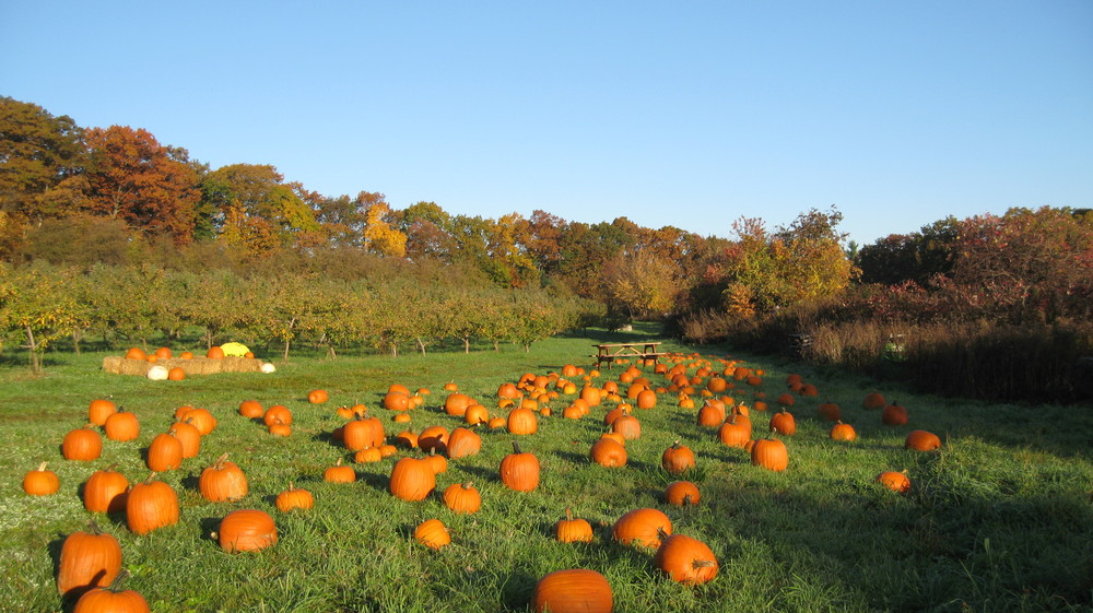 Our pumpkin patch is clean and safe for the youngest of pickers!