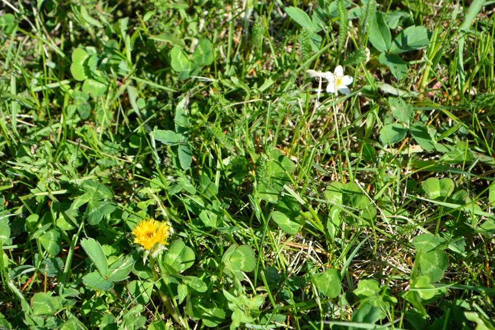 Our first two flowers of spring--dandelion and wild strawberry.
