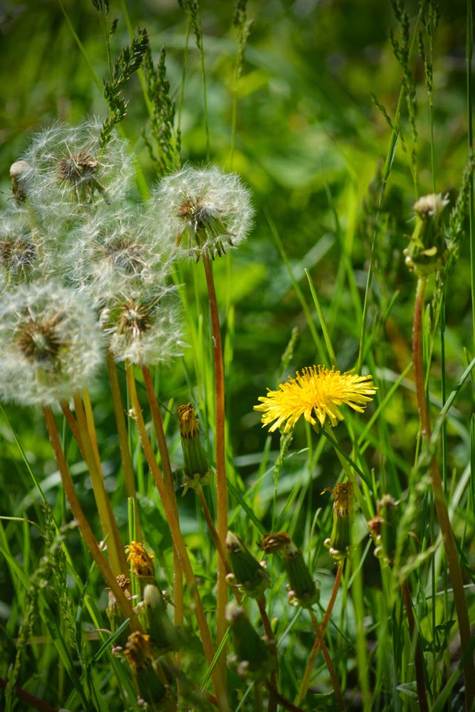 The Life Cycle of Dandelions