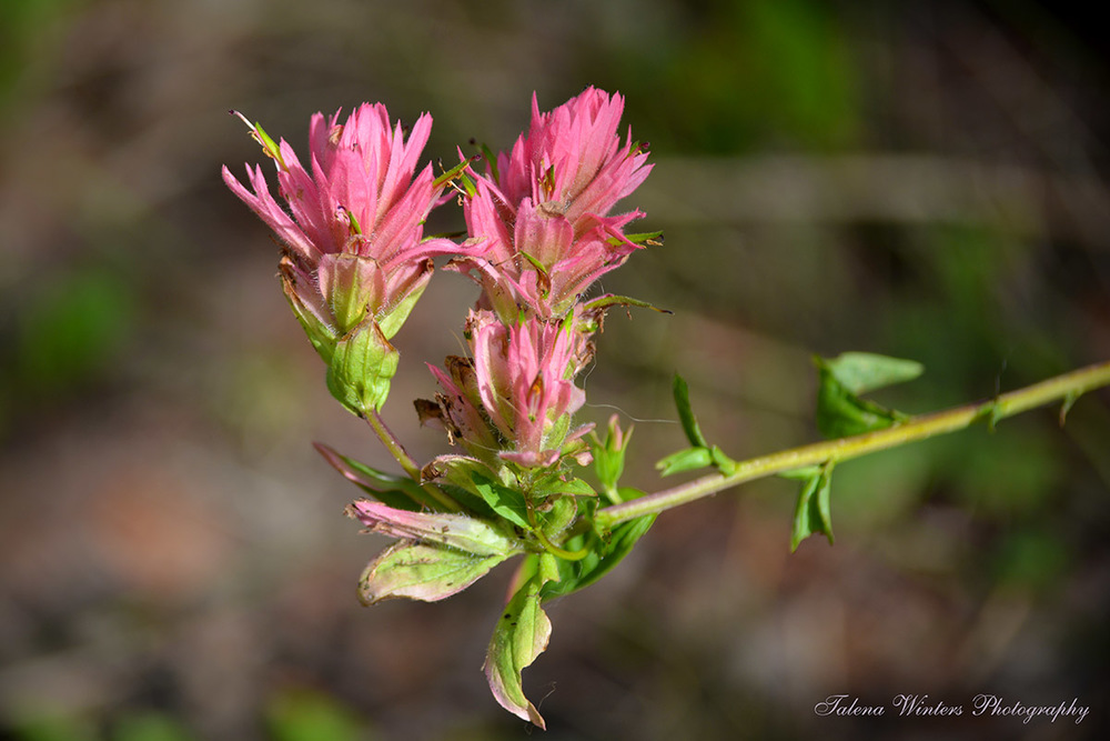 Indian Paintbrush showing signs of the drought.