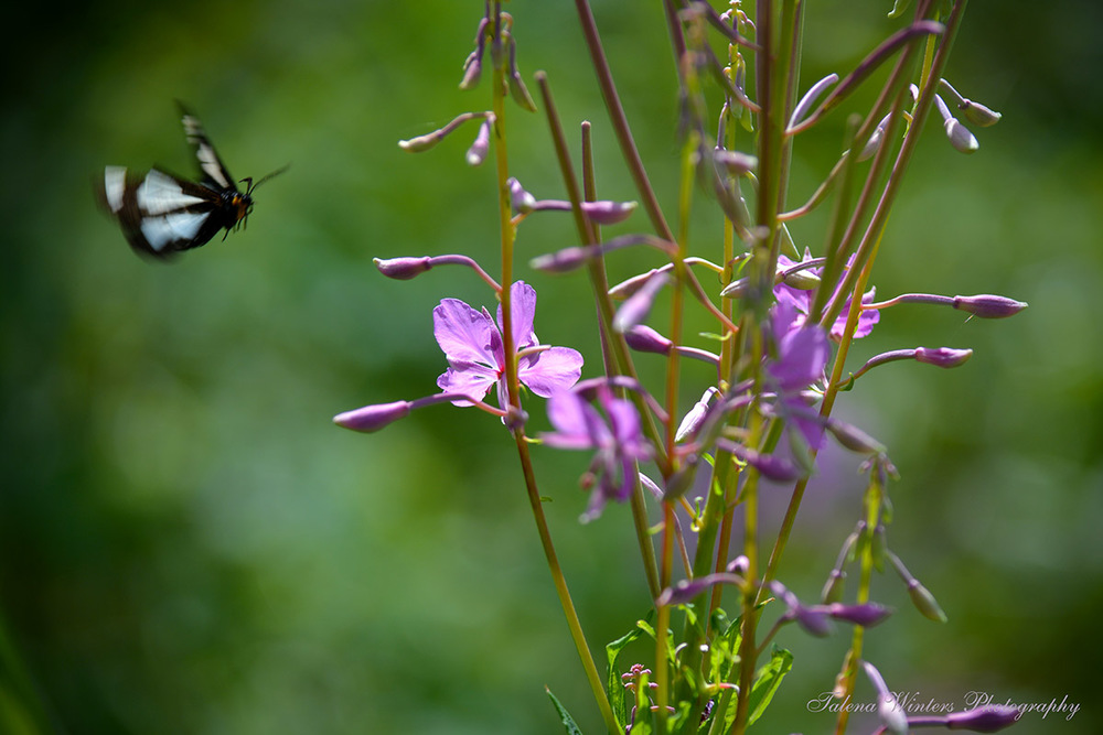 A Police Car Moth comes in for a landing on some Fireweed.
