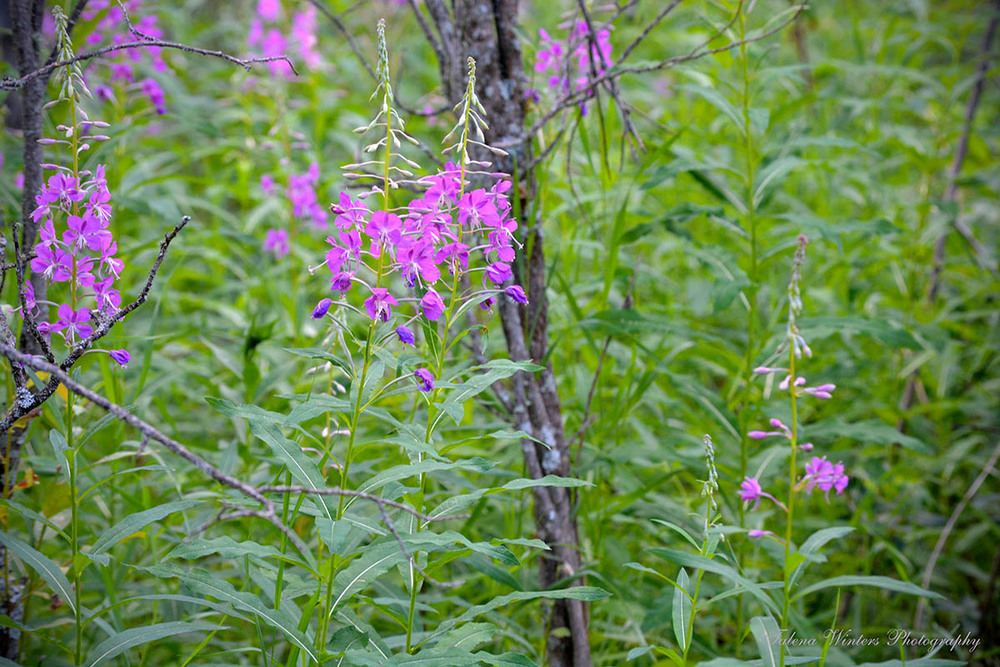 Fireweed in the woods.