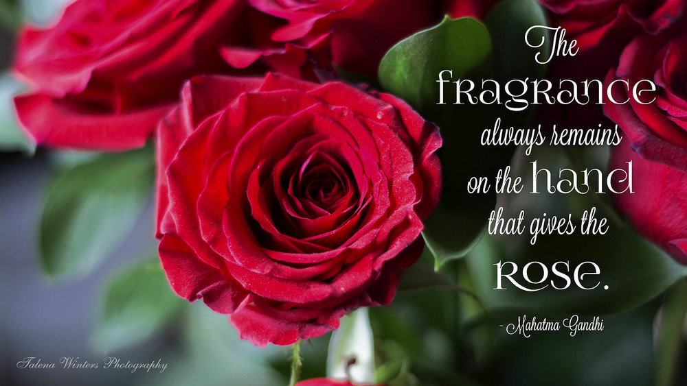"""The fragrance always remains on the hand that gives the rose."" - Mahatma Gandhi. Desktop wallpaper from www.talenawinters.com."