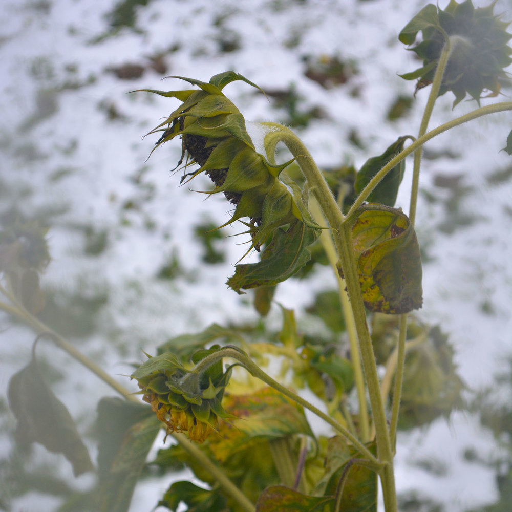 A frosted sunflower against a snowy backdrop, taken through my office window in early September.