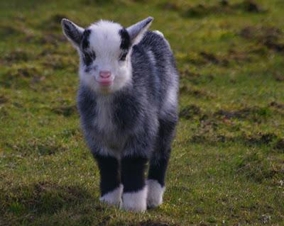 Baby Goat Smiling.jpg