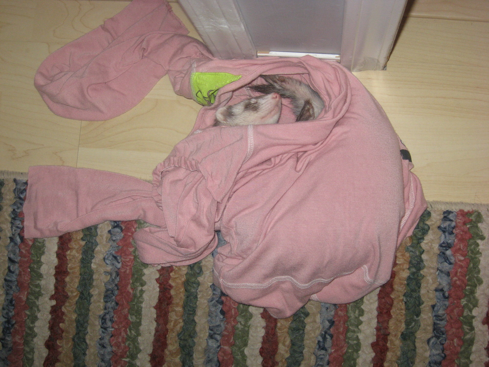 In my shirt. That's one thing about ferrets. If there are clothes or blankets on the floor, I have to step carefully because there could be a ferret sleeping inside.