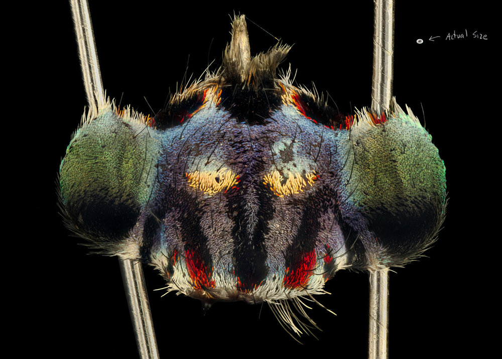 Maria Fernanda Cardoso,  Actual Size IV Maratus harrissi , 2019, deep focus microscopy, pigment print on premium photo paper, 150 x 190 cm