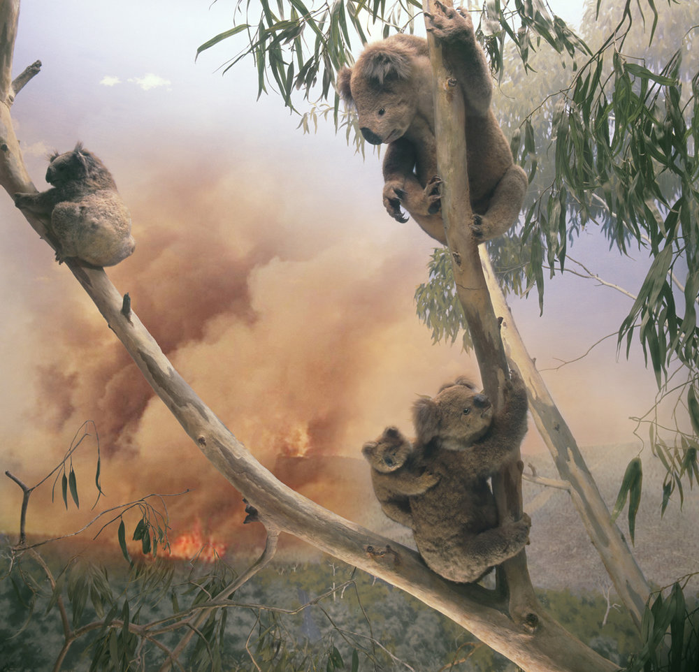 Zahalka_Koala, overlooking the Yarra River at Woori Yallock, Victoria LR.jpg