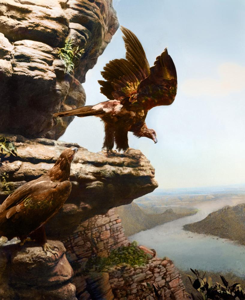 Zahalka_Wedge Tail Eagle, Mt Bellfield overlooking Serra Valley, The Grampians, Victoria LR.jpg