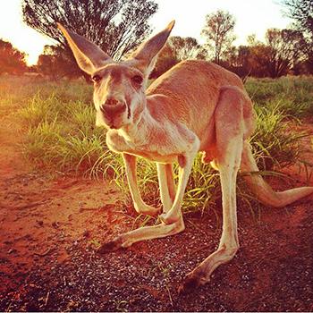 Credit:  The Kangaroo Sanctuary