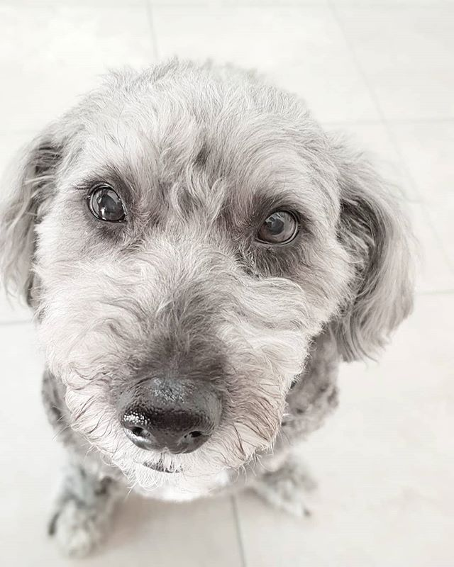 Alfie has mastered his stare technique (with great success) ... 🐕🐕🐕 . . . . #shihtzupoodle #adoptdontshop #rescuedog
