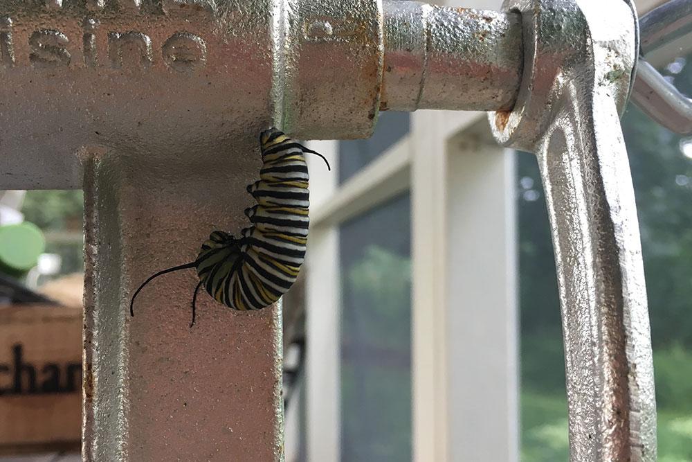monarch-chrysalis-3.jpg