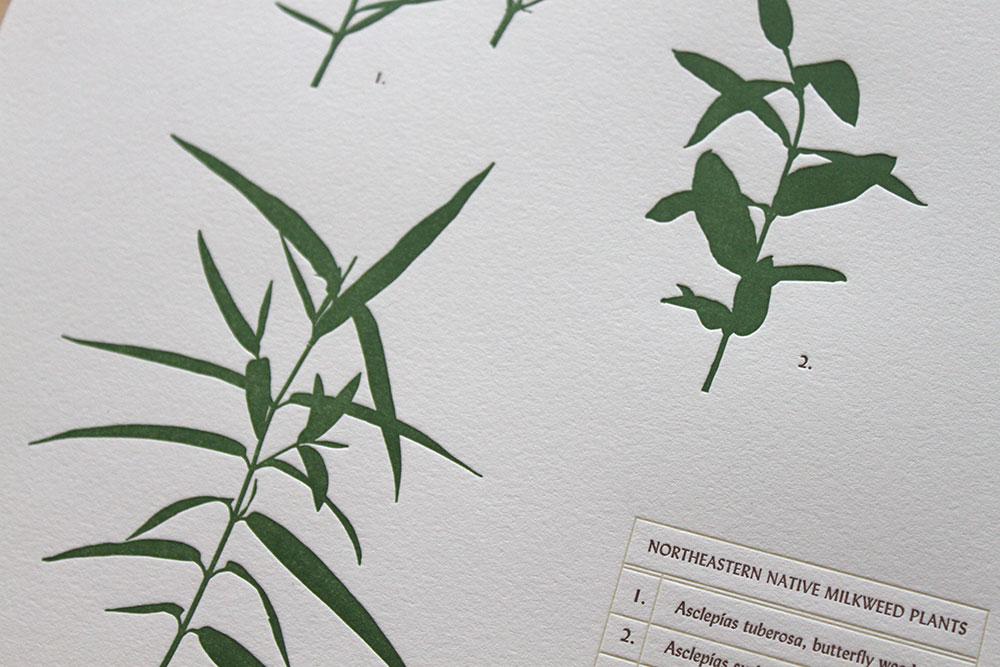 milkweed-3.jpg