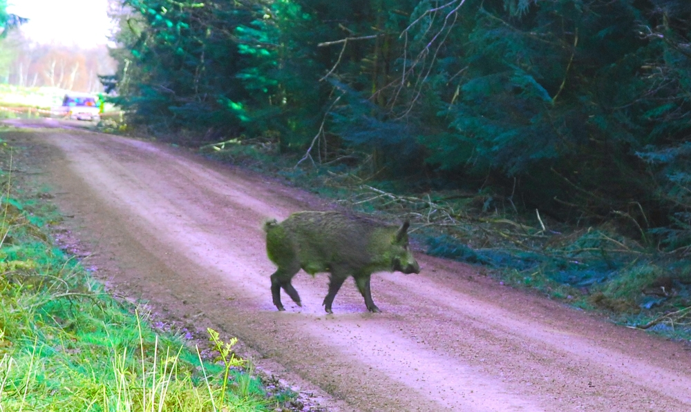 Wild boar in Forest of Dene. Image used for 'Cabbages & Kings'
