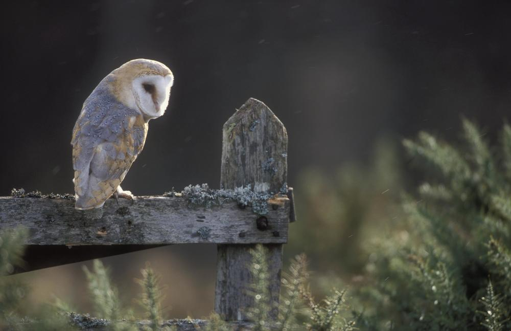 BB-barn-owl-003.jpg