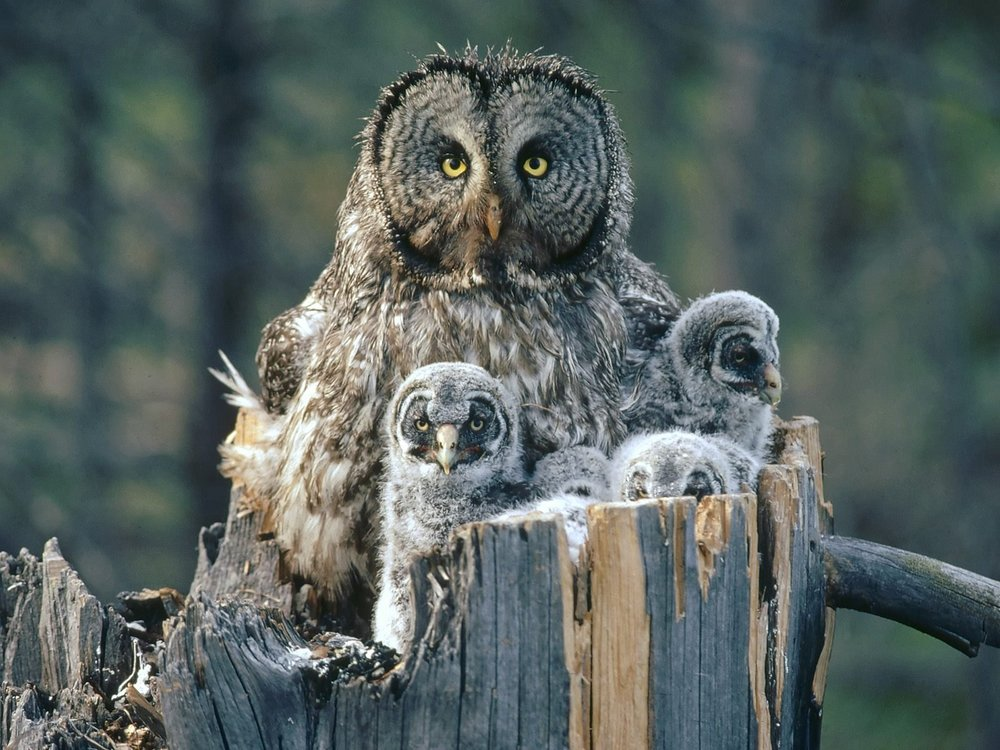 Wallpapers_Great_Gray_Owl_With.jpg