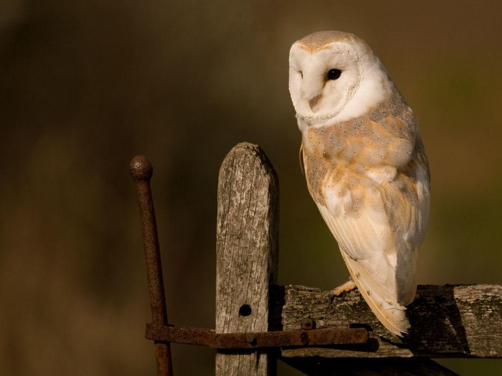 Barn_Owl_from_Twitter1258382666.jpg