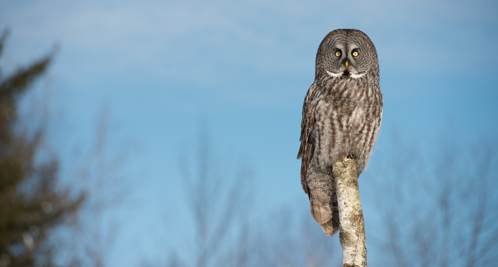Great-Gray-Owl-13-1-of-1.jpg