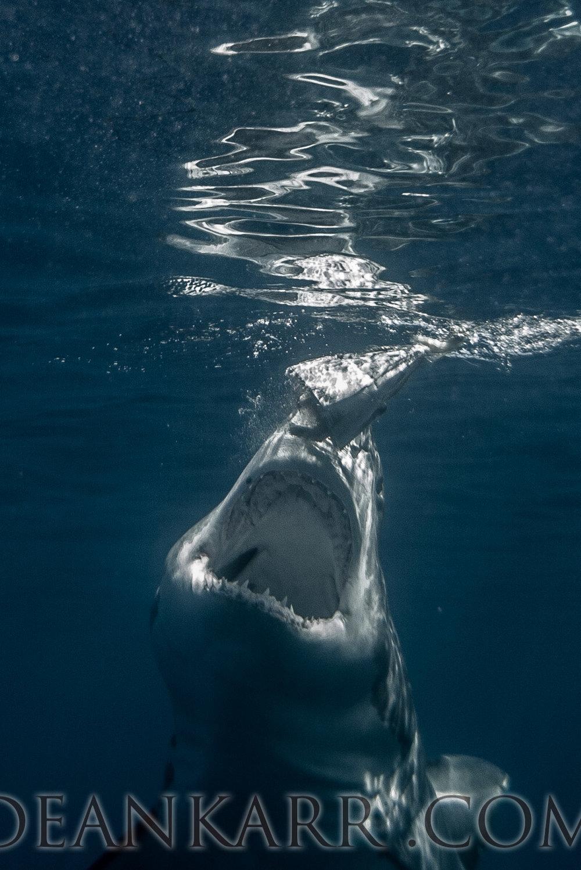 SHARKS 2016-1476.jpg
