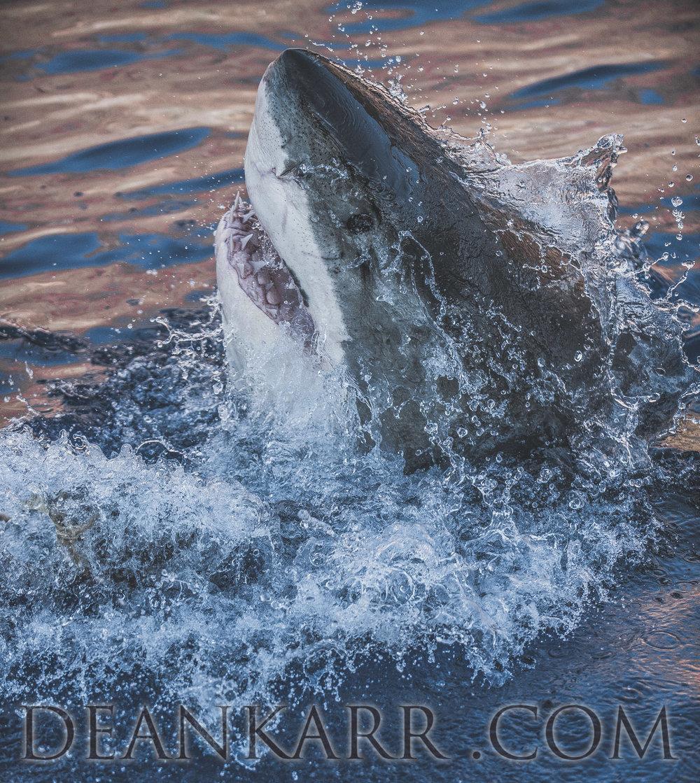 SHARKS 2016-995.jpg