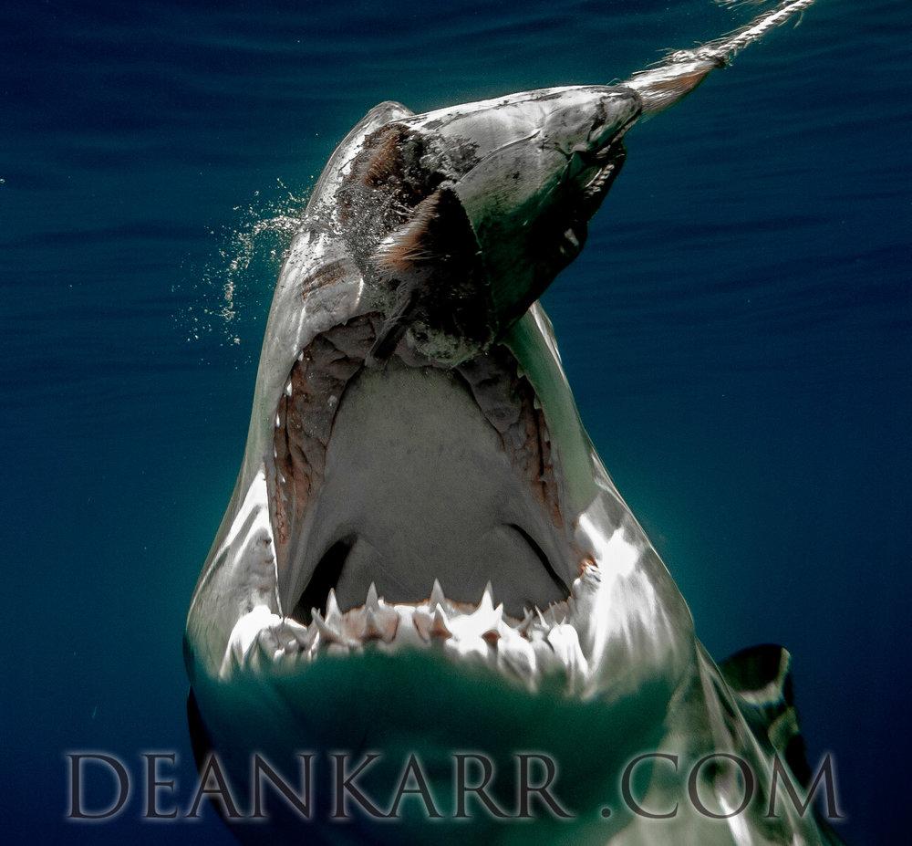 SHARKS 2016-1489.jpg
