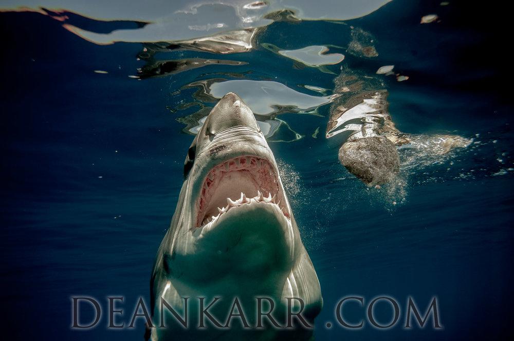 SHARKS 2016-1491.jpg