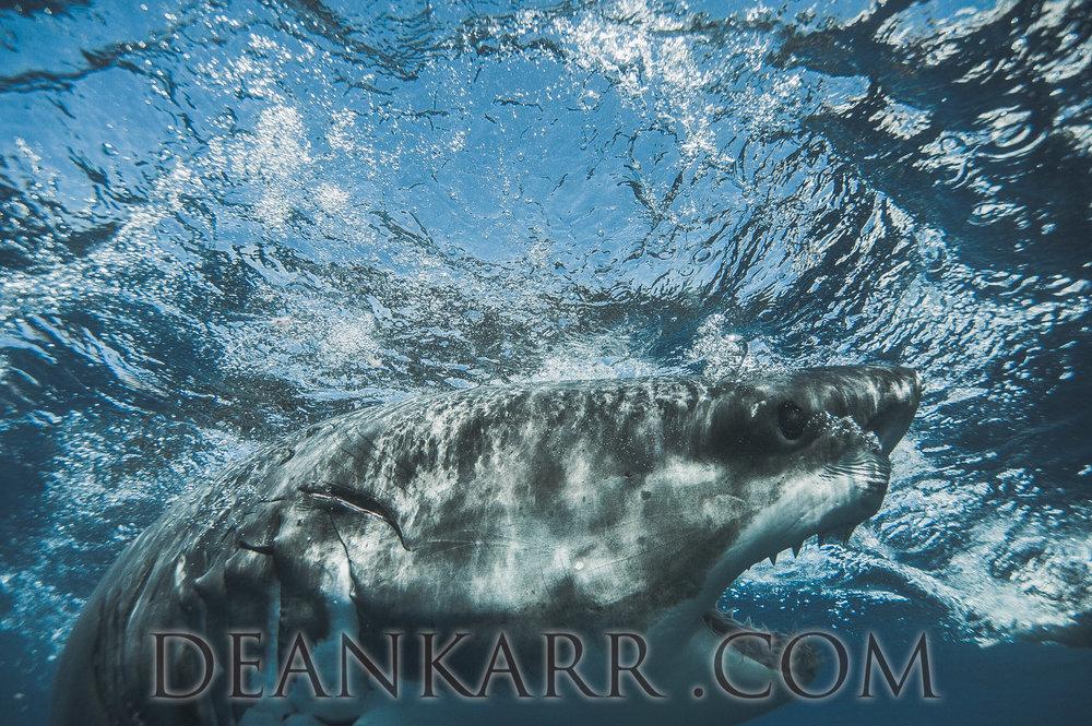 SHARKS 2016-1873.jpg
