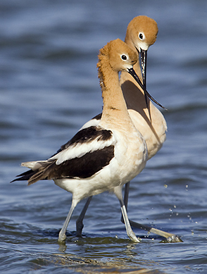 Avocets-walking1.jpg