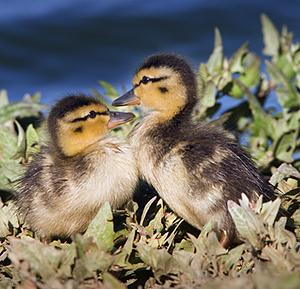 Mallard_ducklings1.jpg