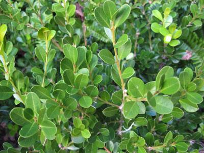 Japanese Boxwood - ( Buxus microphylla )