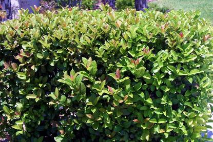 Viburnum Oderatissimum - ( Viburnum odoratissimum