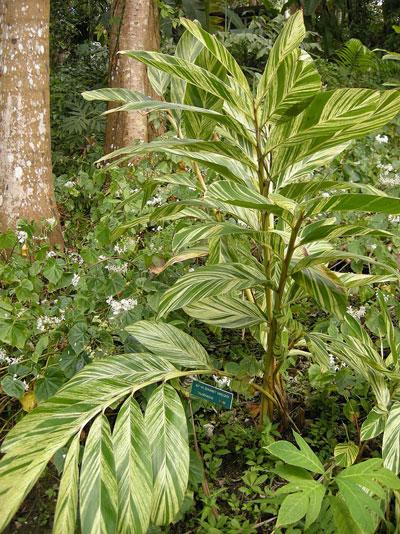 Variegated Shell Ginger - ( Alpinia zerumbet 'Variegata' )