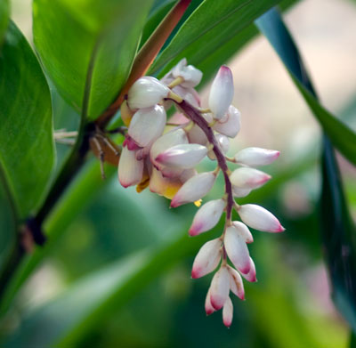 Shell Ginger - ( Alpinia zerumbet )