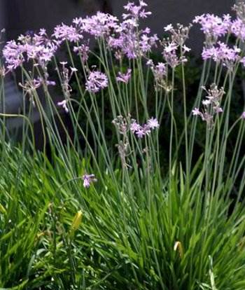 Society Garlic - ( Tulbaghia violacea )