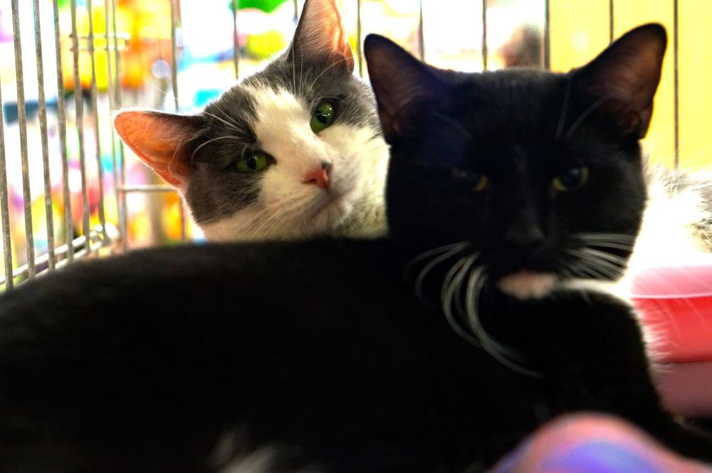 "FEATURED ADOPTABLE: BABY & SHADOW 10 months old. These two bonded kitties were adopted several months ago and then returned because ""they got too big"" frown emoticon These cats are very sweet and affectionate. They are Always together. Double your pleasure by adding this brother and sister duo to your family. To fill out an adoption form visit www.statenislandhoperescue.org You can also visit them at our Petco location 2795 Richmond Ave 7 days a week during regular store hours."