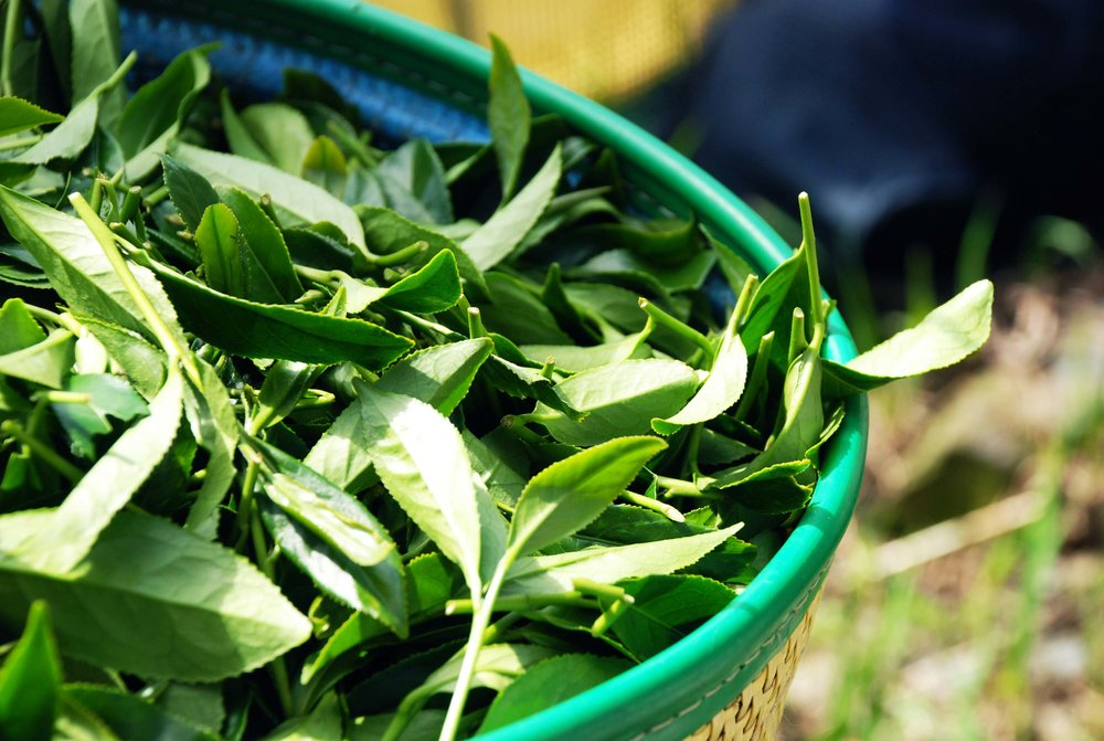 Fresh tea leaves in Ren'ai spring harvest season.