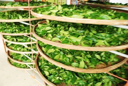 Fresh picked leaves in the indoor oxidization stage. They are thinly layered for even oxidization and in the bamboo trays for ease of moving the teas around as the bamboos are lightweight and flexible.