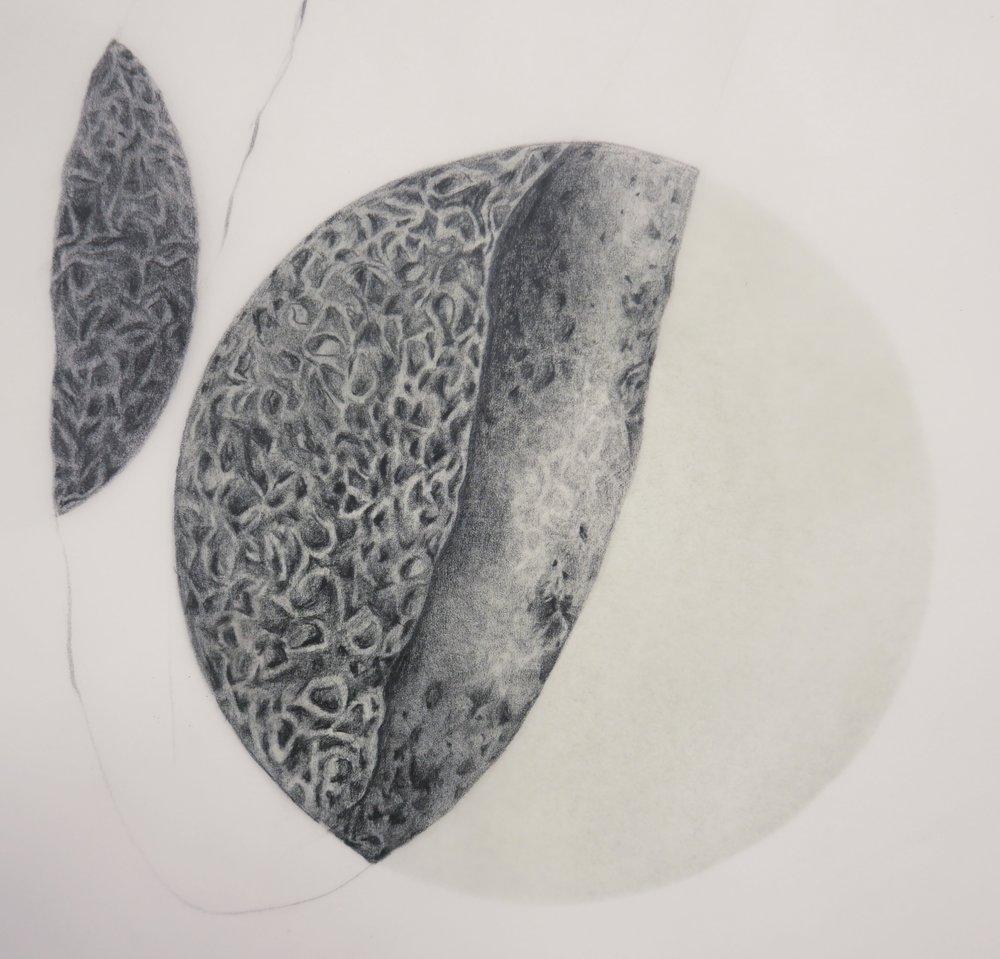 Vitis vinifera (detail)
