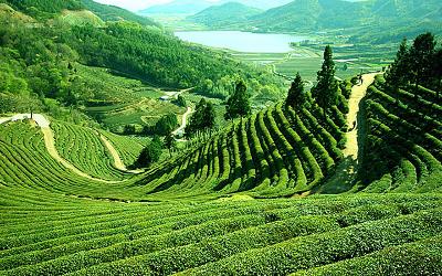 The key botanical, Darjeeling tea, comes fromidyllic India
