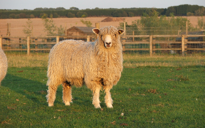 Golden fleece in a golden light