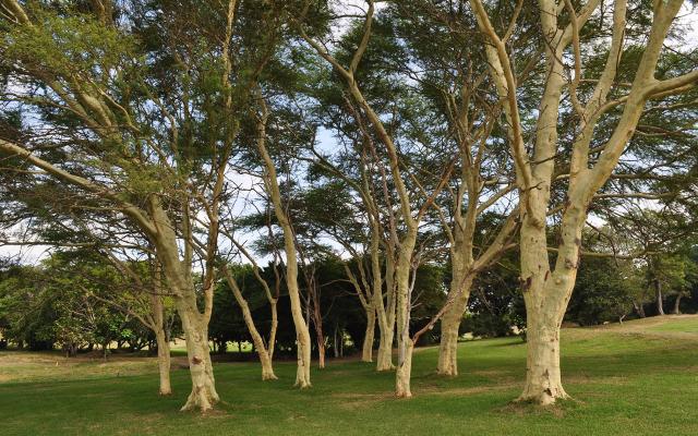 fever tree quinine bark