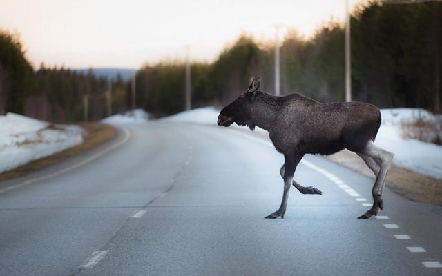 One of Hernö's neighbours - an elk.