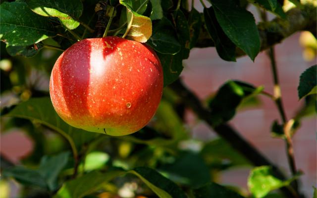swedish apples for gin botanical