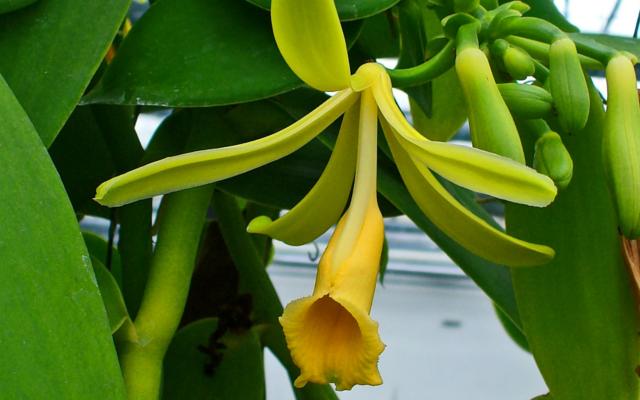 vanilla pod botanical plant