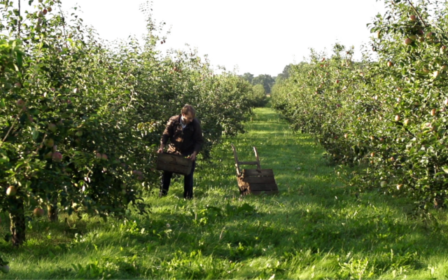 Robin gathers apples in the orchards surrounding the distillery.
