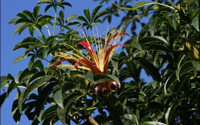 Baobab African flower